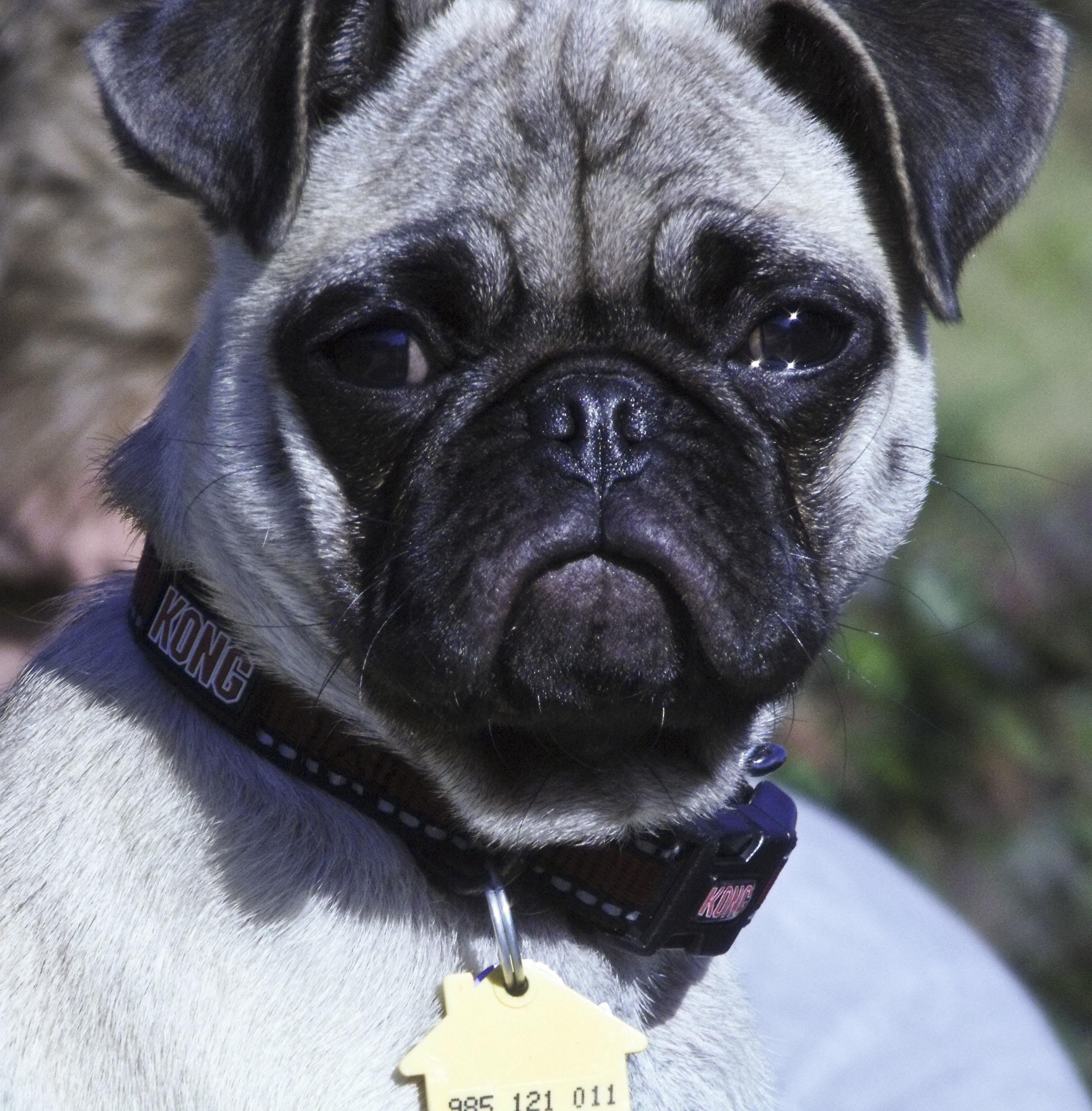 Best New Cars Under 15k Australia >> Bentley Bulldog.English Bulldog Dog Breed Information Buying Advice . Pugs. Pugs - Car Images ...